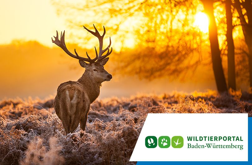 Mit der App im Wald - Baden-Württemberg digitalisiert Jagdverwaltung